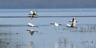 A flock of Ibises stock photos