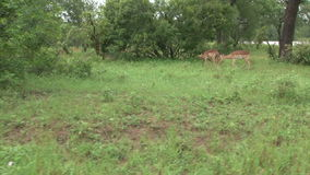 Flock of impala antelope with Blue wildebeest stock video footage