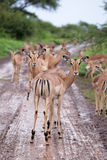 Flock of impala antelope Royalty Free Stock Photo
