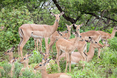 Flock of impala antelope Royalty Free Stock Photography