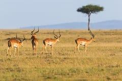 Flock of Impala antelope walking Stock Images