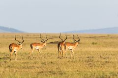 Flock of Impala antelope Royalty Free Stock Image