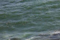 Flock Inca tern, Larosterna inca, hunting fish, Paracas, Peru Royalty Free Stock Image
