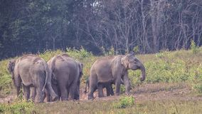 Group of Indian Elephants in Prairie. A flock of of Indian elephants, Elephas maximus indicus, are walking in prairie at Khao Yai National Park in Thailand royalty free stock photo