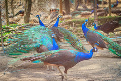 A flock of Indian peafowl, Blue peafowl (Pavo cristatus) peacock Stock Image