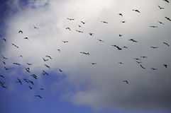 A flock of jackdaw (Corvus monedula) birds flying in front of a cloud Stock Image