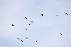 Flock of jackdaws Stock Image