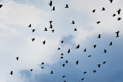 Flock of jackdaws Royalty Free Stock Photography