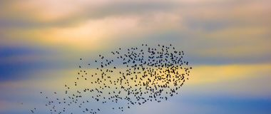 Flock of jackdaws. Corvus monedula, interaction of birds in flock, feeling nearest-neighbor and immediate response royalty free stock images