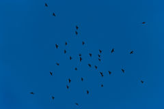 Flock of jackdaws flying in blue sky Royalty Free Stock Photography