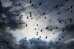 Flock of jackdaws Stock Photos