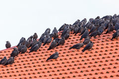 Flock with Jackdaws on a roof Stock Photos