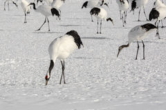 Flock of Japanese Red-Crowned Cranes Foraging Stock Image
