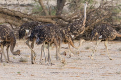 Flock of juvenile ostriches in the kalahari Royalty Free Stock Photography