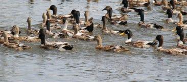 Flock of kerala geese Royalty Free Stock Photos