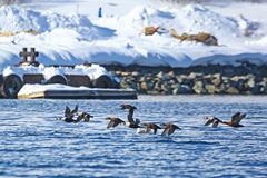 Flock of King eiders flying over the sea Stock Images