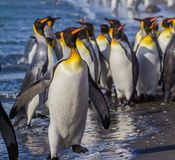 Flock of King penguin march along shoreline. In St. Andrew Bay on South Georgia Royalty Free Stock Photos