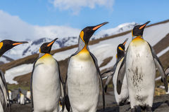 Flock of King penguins looking right in bright breeding plumage. Flock of King penguins looking right Royalty Free Stock Images