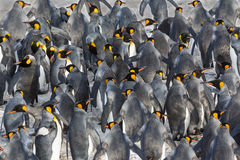 Flock of King penguins. Walking up hill Royalty Free Stock Photography