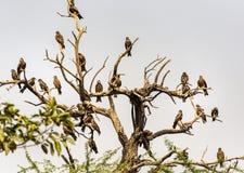 Flock of kites sitting on a tree.