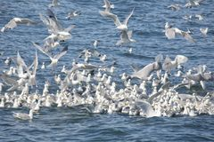 Flock of Kittiwakes in Alaska Royalty Free Stock Photo