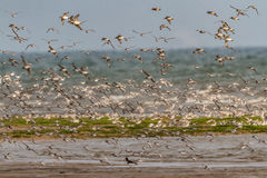 A flock of Knot wading birds on the Norfolk coast, England, UK. Stock Photo