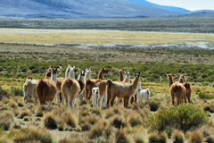 Flock of lamas in volcano isluga national park Royalty Free Stock Photography