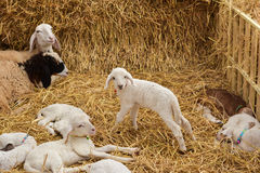 Flock of Lamb in farm. Looking at camera Stock Photography