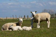 Flock of lambs Royalty Free Stock Photos