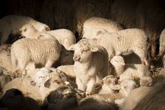 Flock of lambs and sheep Royalty Free Stock Images