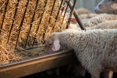 A flock of lambs in the sheepfold Royalty Free Stock Images