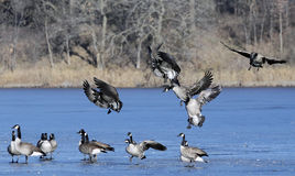 Flock of landing geese Stock Photo