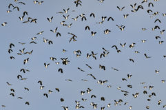 Flock of Lapwing in flight Royalty Free Stock Photography