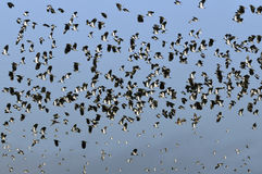 Flock of Lapwing in flight Royalty Free Stock Images