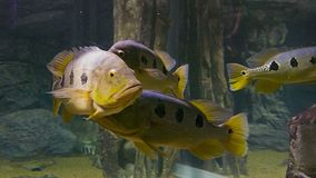 Flock of large fish in the water stock video footage