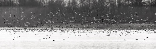 The Flock Large flock of birds, sea gulls, above a lake. Royalty Free Stock Photography
