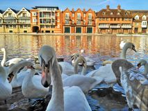 A flock of large white swans in the Thames River in Windsor, Great Britain royalty free stock photography