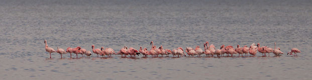 Flock of Lesser Flamingos Stock Image