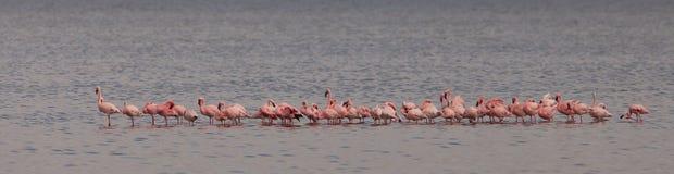 Flock of Lesser Flamingos Stock Image