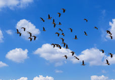 Flock of lesser whistling duck Dendrocygna javanicaflying on blue sky. Flock of lesser whistling duck Dendrocygna javanica or lesser whistling teal or indian Stock Photo