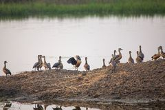 Flock of Lesser whistling ducks in Keoladeo Ghana National Park, Royalty Free Stock Photo