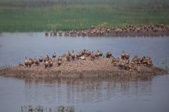 Flock of Lesser whistling ducks in Keoladeo Ghana National Park, Royalty Free Stock Image