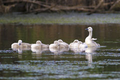 Flock of little baby mute swans Royalty Free Stock Photo