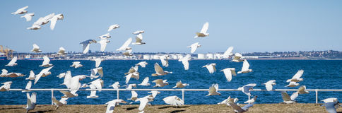 Flock of Little Corella Aloft at Botany Bay, NSW, Australia Stock Photo