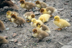 A flock of little ducklings Stock Images
