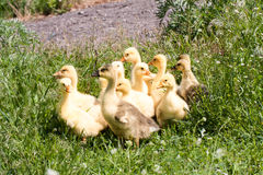 A flock of little geese grazing in green grass Stock Image