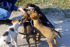 A flock of little puppies eat food from a hand on the street royalty free stock images