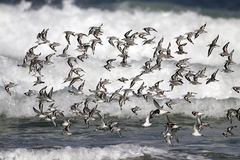 Flock of little sea birds flying Stock Photo