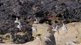 Sanderlings flight Royalty Free Stock Photography