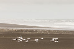 Flock of little terns on black sand beach Stock Images